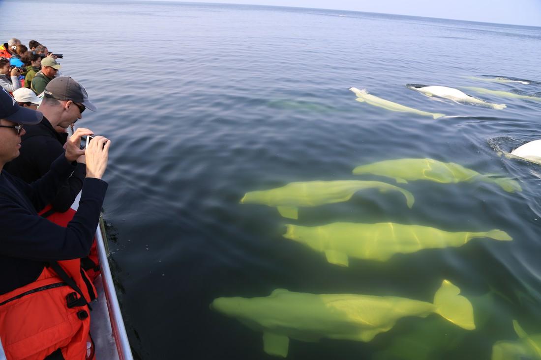 Beluga Churchill - Manitoba - Canada - Doets Reizen
