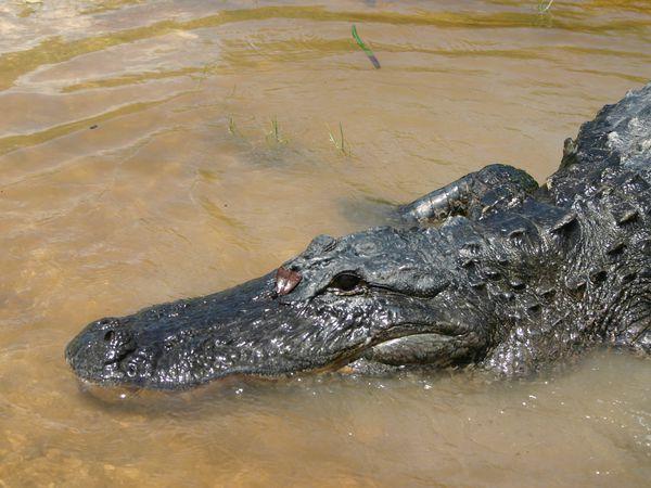 Alligator in de Everglades Florida