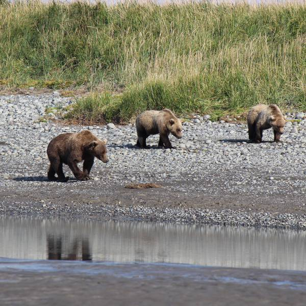 Bearview Katmai NP Alaska
