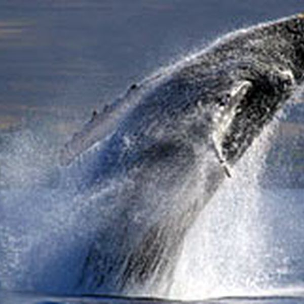 Walvissen Spotten Maui - Hawaii - Doets Reizen