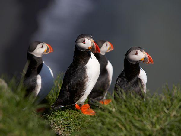 Puffins IJsland - Doets Reizen