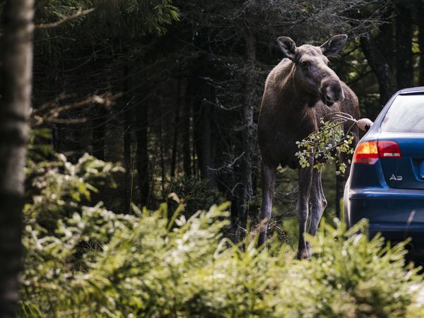 Moose Safari Småland - Doets Reizen - Vakantie in Zweden - Credits Visit Sweden
