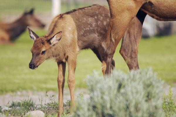 Wildlife - Yellowstone National Park - Wyoming - Doets Reizen