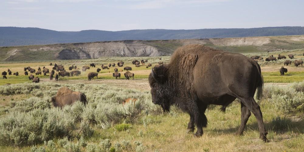 Bizons - Yellowstone National Park - Wyoming - Doets Reizen