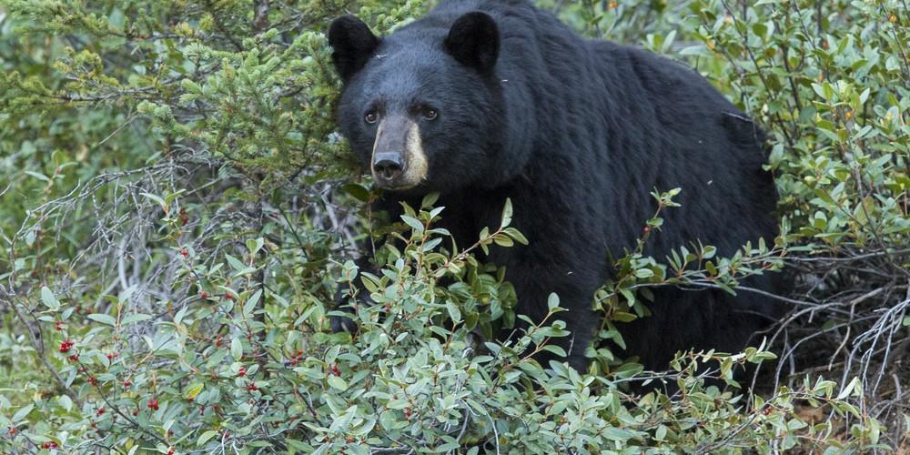 Wildlife - Icefields Parkway - Alberta - Canada - Doets Reizen