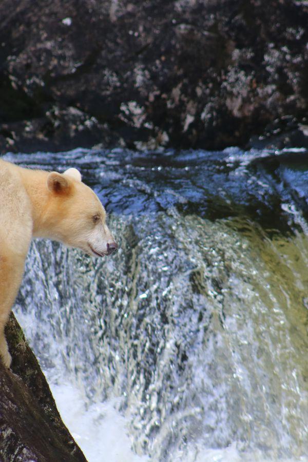 Spirit Bear - Great Bear Rainforest - British Columbia - Canada - Doets Reizen