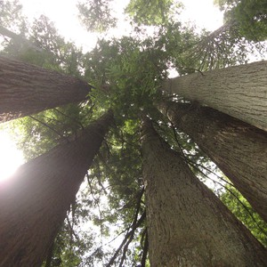 Reisdag 36 14 juni Redwoods - Dag 36 - Foto