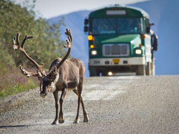 Wildlife Denali National Park - Alaska - Doets Reizen