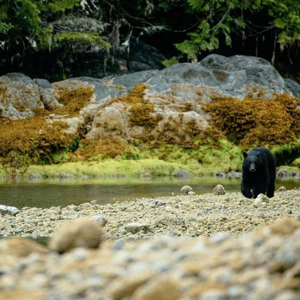 Tofino Bear Watching - Vancouver Island - British Columbia - Canada - Doets Reizen
