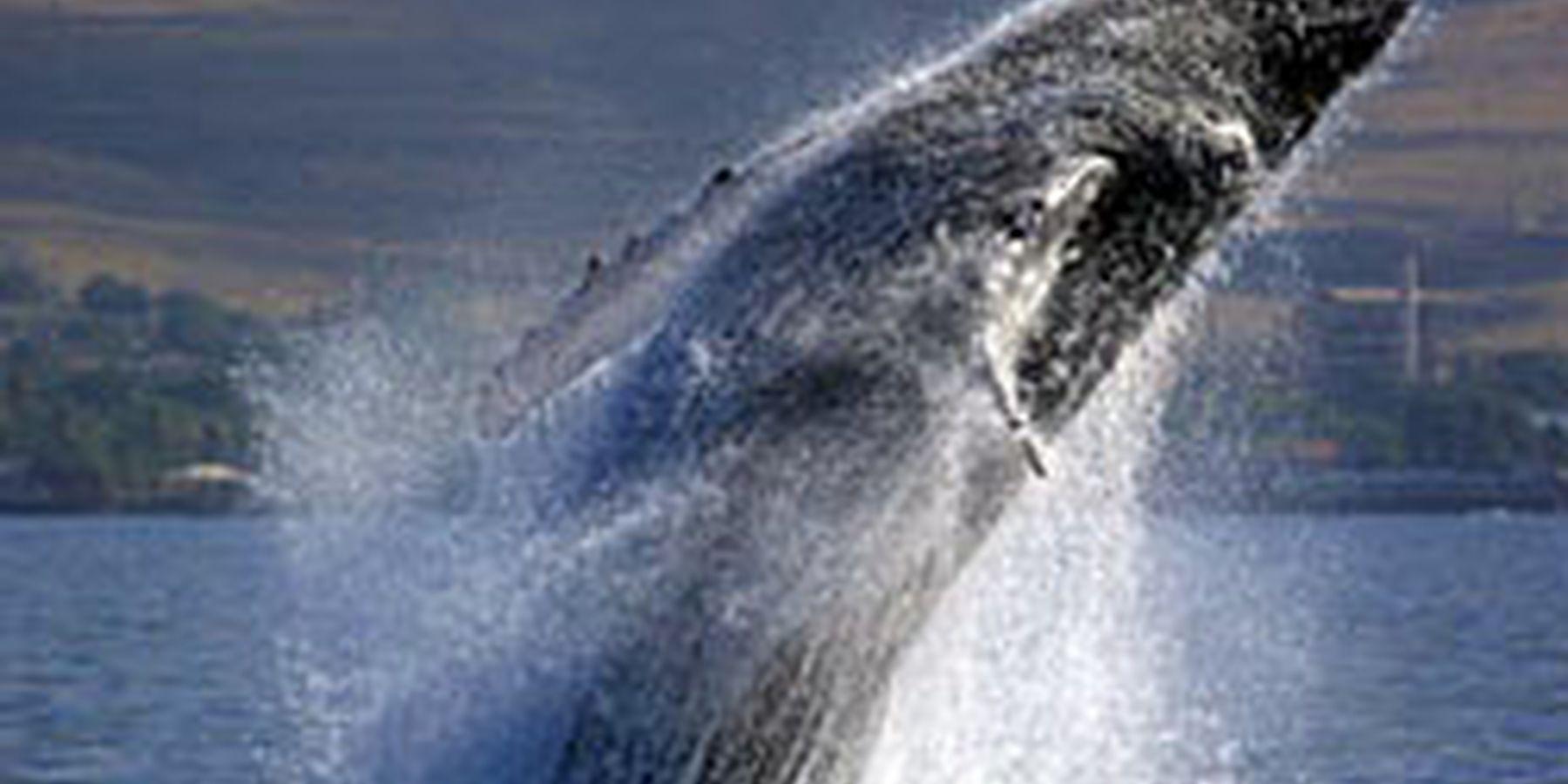 Whalewatch Hawaii Maui