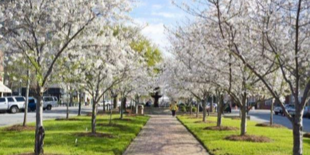Cherry Blossoms - Atlanta - Georgia - Amerika -Doets Reizen