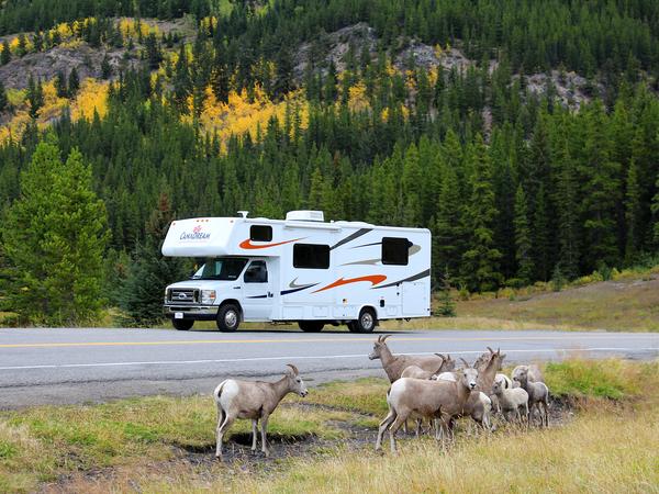Rocky Mountain Sheep langs de weg