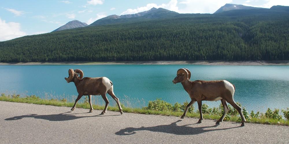 Jasper National Park Wildlife - Alberta - Canada - Doets Reizen