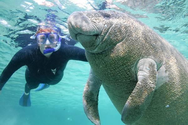Zwemmen met Manatees in Crystal River Florida
