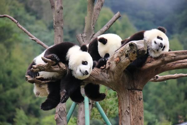 Panda's - Chengdu - China - Doets Reizen