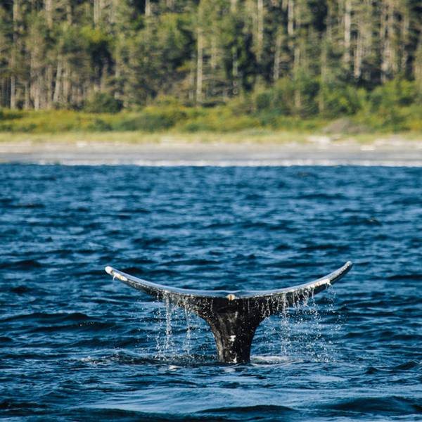 Tofino Whale Watching - Vancouver Island - British Columbia - Canada - Doets Reizen