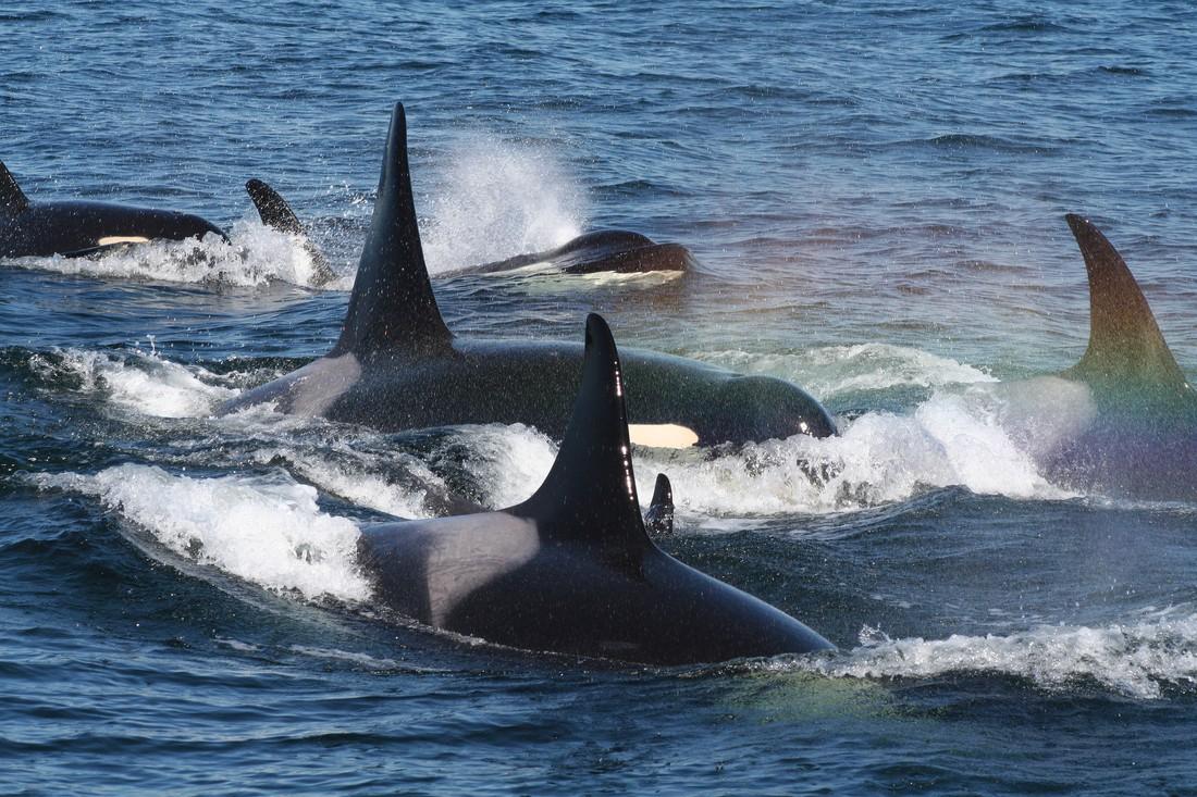 Orka's spotten Victoria - Vancouver Island - British Columbia - Canada - Doets Reizen