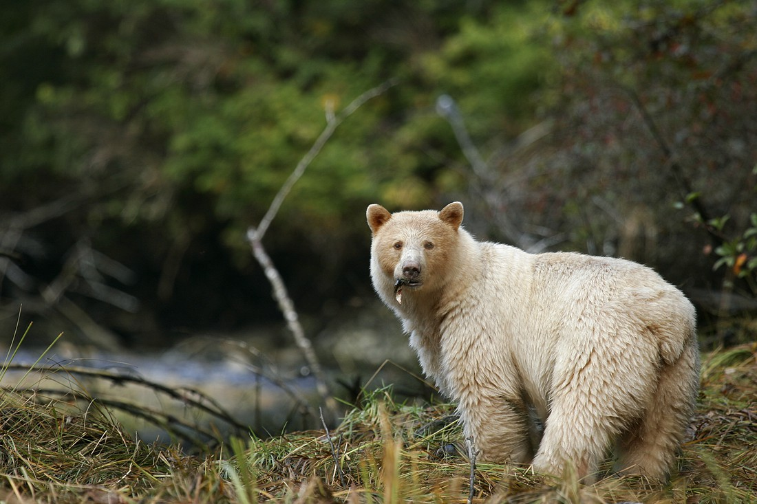 Spirit Bear Lodge - Great Bear Rainforest - British Columbia - Canada - Doets Reizen