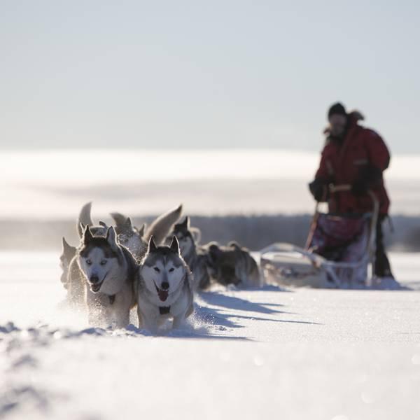 Ultimate Lapland - Hondenslee tocht