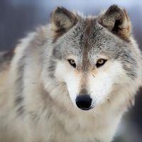Jeremy Metselaar - Wolf