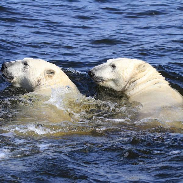 IJsbeer Churchill - Manitoba - Canada - Doets Reizen