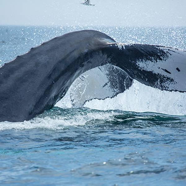 Beantown Whale Watch Tours - Walvissen Spotten - Boston - Massachusetts - Doets Reizen