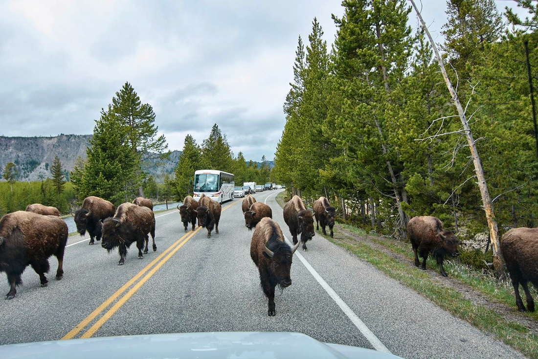 Bizons op de weg in Yellowstone National Park