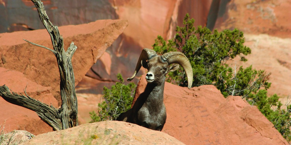 Big Horn Sheep in Grand Junction, Colorado