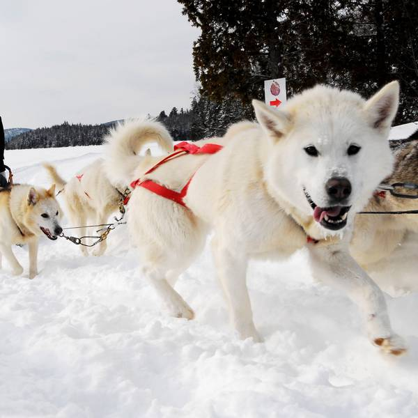 Hondensleetochten of Dogsledding vanuit Banff Canada