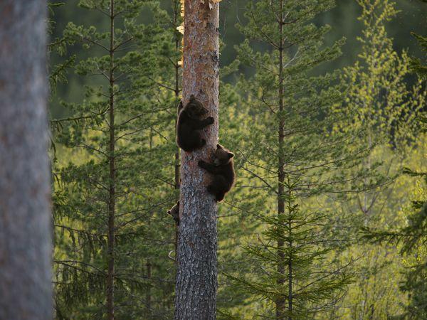 Beren in Norrbotten - Doets Reizen - Vakantie in Zweden - Credits Visit Sweden