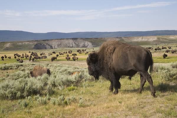 Bizons - Yellowstone National Park - Wyoming - Doets Reizen