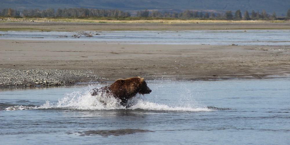 Bearview Katmai NP Alaska