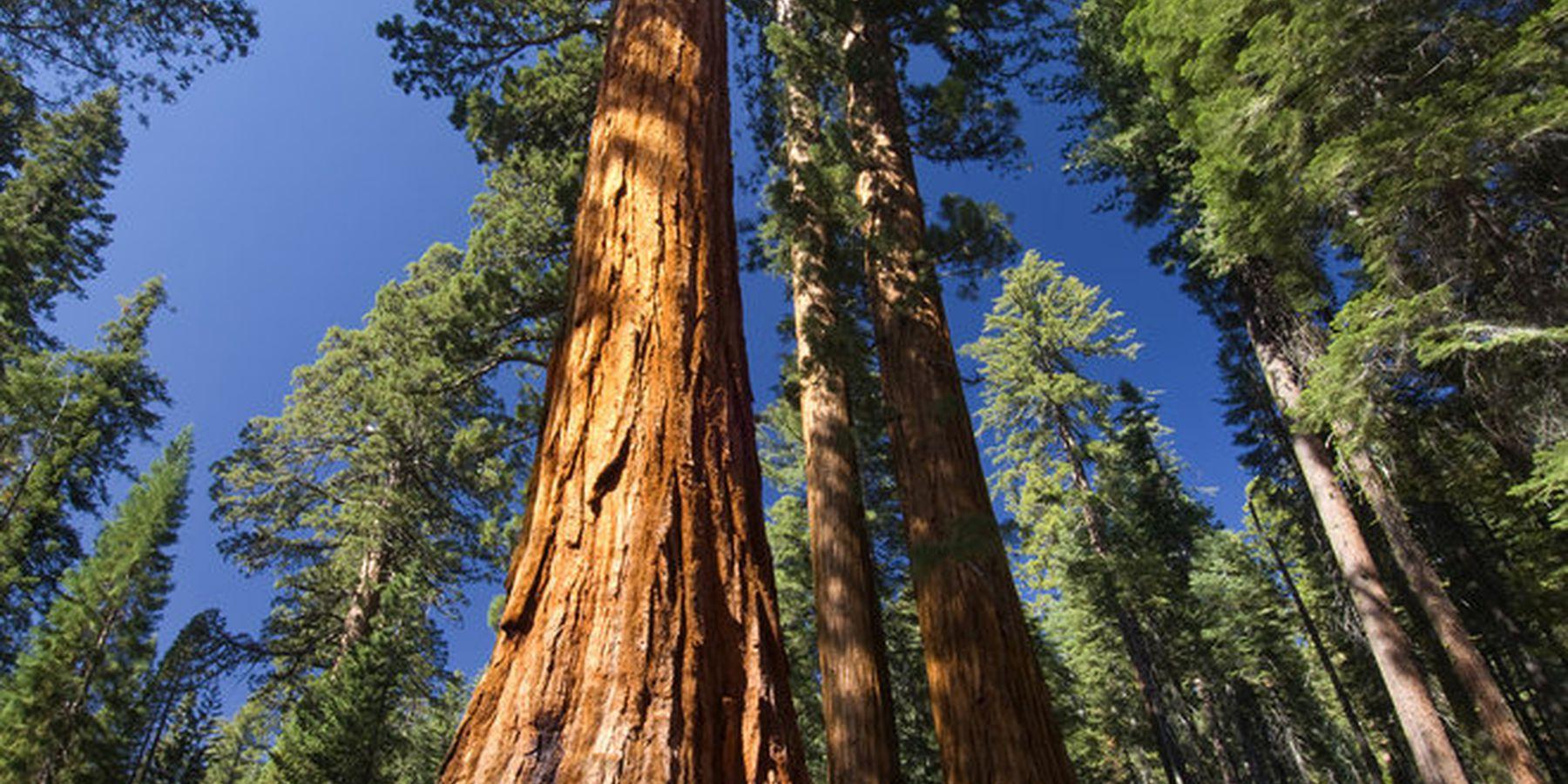 Mariposa Grove - Sequoia National Park - California - Amerika - Doets Reizen