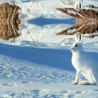 Arctic Hare - Astrid Goedhart
