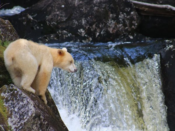 Spirit Bear - Great Bear Rainforest - British Columbia - Canada - Doets Reizen