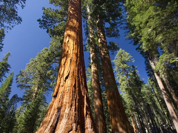 Mariposa Grove - Sequoia National Park - California - Amerika - Doets Reizen