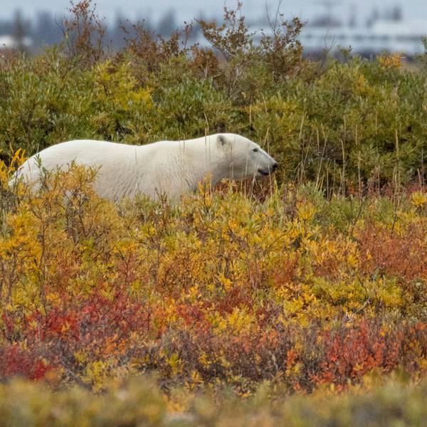 IJsbeer - Manitoba - Canada - Doets Reizen