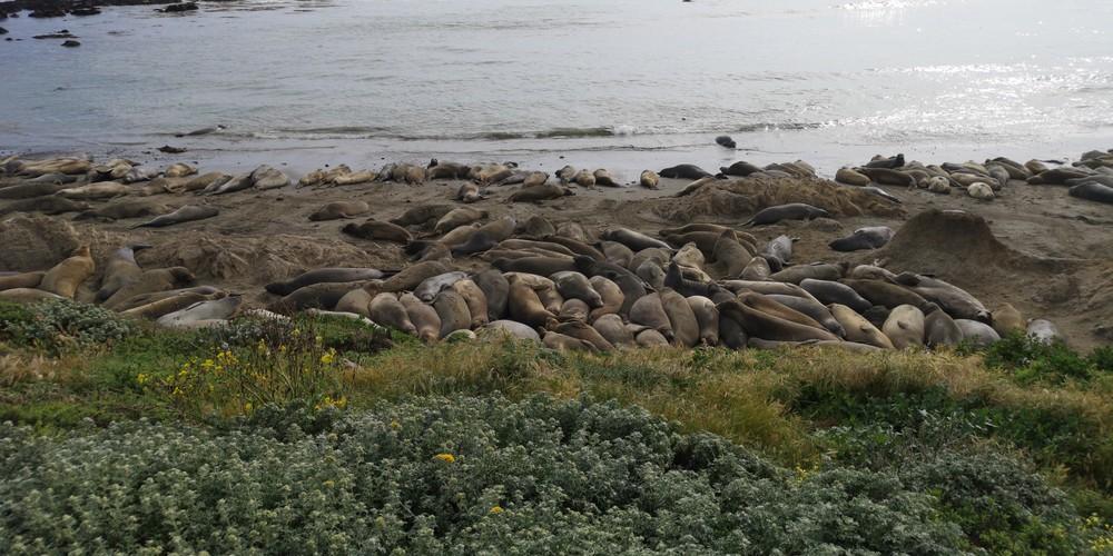 Zeeolifanten San Simeon - California - Amerika - Doets Reizen
